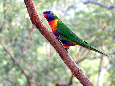 Rainbow Lorikeet Parrot bird