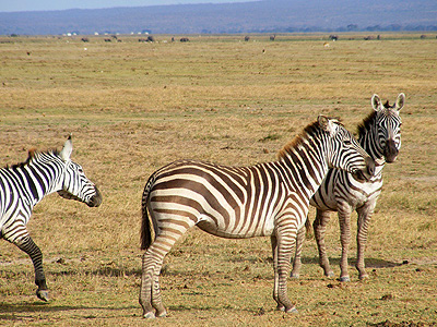 Zebras eastern, southern and south western Africa distinctive white and black stripes Grevys Zebra in Kenya genus Equus striped serengeti stripes black and white Kenya Africa Africian