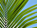 Single Tropical Palm frond with bright blue sky behind